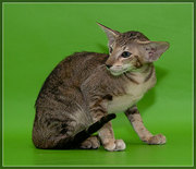Продам прекрасных ориентальных котят