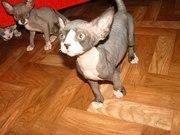 Срочно продам котят канадского сфинкса