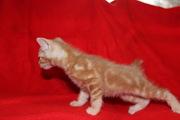 котят курильского бобтейла
