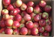Яблоко от производителя 0, 2 евро / кг.