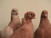 Продам голубей,  г.Павлодар,  Казахстан