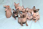 Продаю котят канадского сфинкса