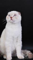 котик шоу класс-голубоглазый красавец