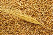 Продам пшеница 3 класса