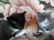 Дарю котят от умной кошки