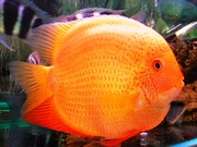 рыбки Северум-Gold(ложный дискус)