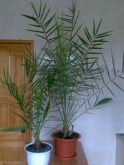 Комнатные растения для дома и офиса от 1, 5 до 2 метров.