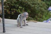 Милая девушка капуцин обезьян по усыновлению
